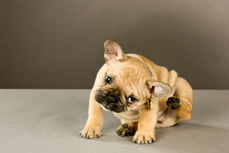 Adorable six week old French bulldog puppy, wearing a collar looking at the camera, scratches his ear. Indoor studio shot with gray background