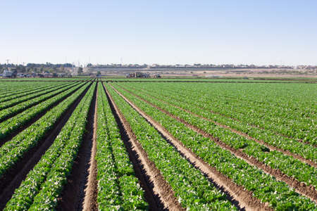 In the Arizona desert, the long straight rows of green lettuce growing stretch off to the hoizon where trucks of field workers harvest  This precision is acheived using lasers Stockfoto