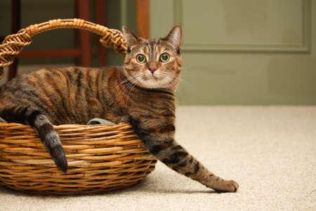 A tabby cat looks at the camera as he climbs out of a wicker knitting basket