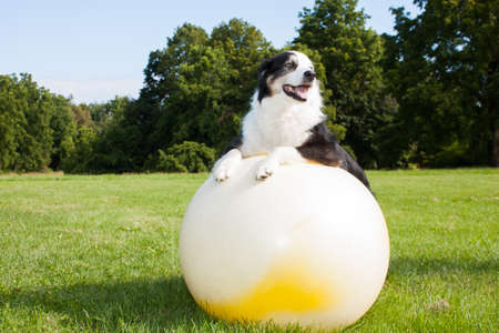 An Australian Shepherd Dog doing exercises on a Yoga ball in the park.  Stretching is very good for your dog. Standard-Bild