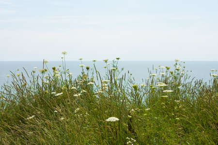 queen anne   s lace: wild field flowers blow gently in the wind on Lake Erie