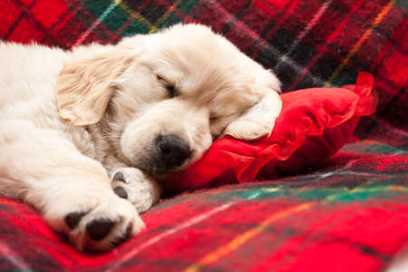 Adorable 10 week old golden retriever puppy asleep on a tartan blanket with his head on a heart shaped pillow