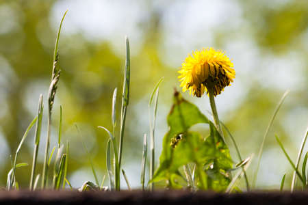 Looking up at a mature yellow dandilion and some unkept grass against a softly blurred background of trees and blue sky.