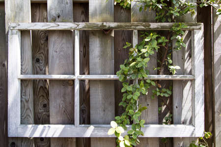 Vintage frame with flowering vines growing on a wooden fence.  Nice shabby chic look.