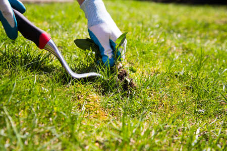정원 장갑을 낀 손은 잡초 당김 도구의 도움으로 풀에서 잡초를 수동으로 잡아 당깁니다.