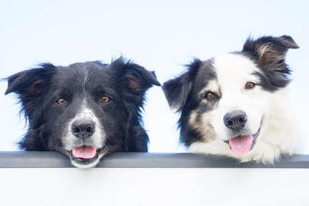 furry animals: Feliz de dos perros de pastor australianos miran a la cámara, sobre el portón trasero de una camioneta pick-up Foto de archivo