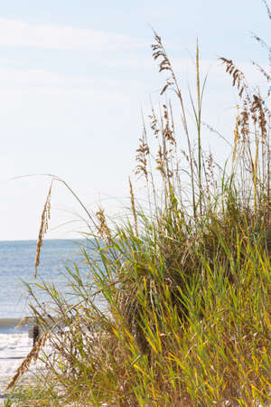 grand strand: Characteristic grasses along the shoreline at Myrtle Beach South Carolina.