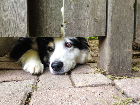 peers: Black and white dog peers out under the fence Stock Photo