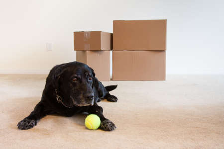 A sad old dog laying in the living room with only cardboard boxes and his ball