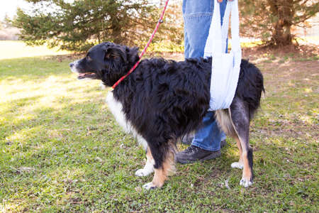 Dog recovering from TPLO surgery walking with sling support