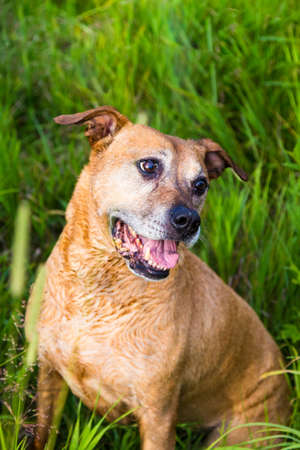 13 year old: beautiful and gentle 13 year old pit bull cross dog sitting in the grassy fields during a playful walk