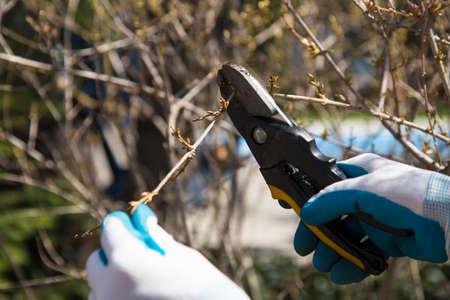 hands in garden gloves holding garden shears to prune a bush during spring yard clean up