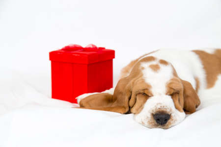 facing to camera: adorable basset hound puppy with a red gift box sleeps facing camera