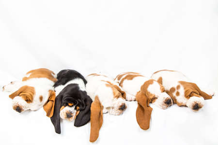 One black tri colored basset hound puppy sleeping in a line with four red and whites Standard-Bild