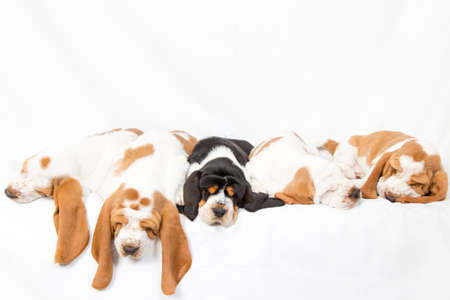 oddball: litter of sleeping basset hound puppies.  A black in the middle of the white ones Stock Photo