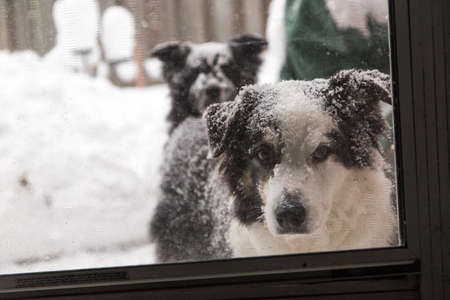 A dog looks in at the camera through the screen door, another dog looks from behind Фото со стока