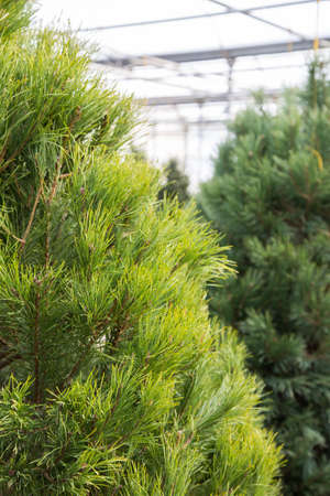 Scotch Pine trees hanging up waiting to be chosen for Christmas