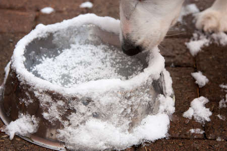 water frozen: A dog goes to his water bowl but the inter weather has frozen it over with ice and snow