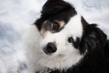 black and white Australian Shepherd dog looks up at the camera from the winter snow Stock Photo