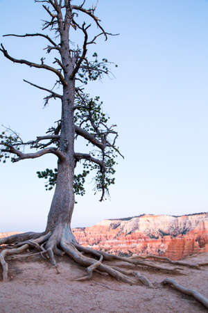 struggles: Lone pine tree struggles to survive on the edge of Bryce Canyon, Utah at sunset