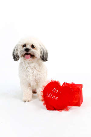 A white Havanese dog with a red Valentine heart and gift box