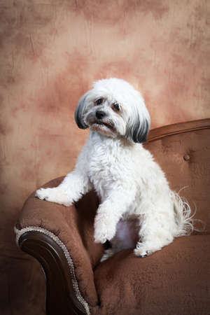 A fluffy white Havanese dog sitting up on the edge of a vintage loveseat Stock Photo