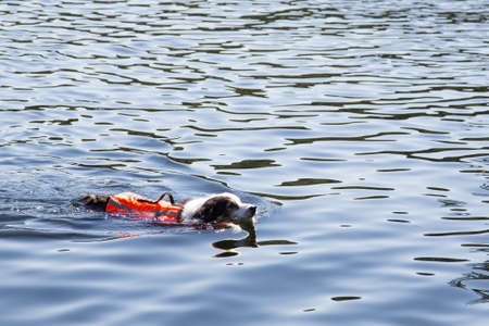 life jacket: Old aging dog gets back his confidence to swim again with the aid of a new life jacket Stock Photo
