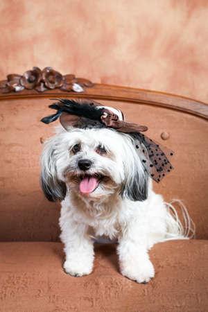 White Havanese dogon antique sofa wearing a small facsinator hat