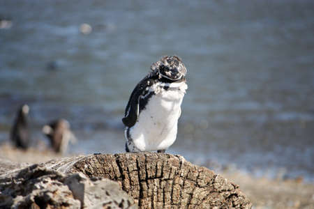 fluffy tuft: young penguin in South America stands on a log shedding its baby coat as its adult feathers grow in.