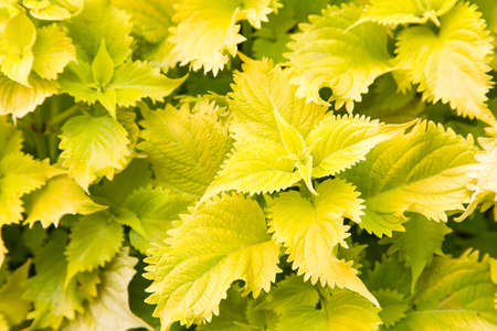 lacey: Lacey edges on this bright green foliage gives it a delicate look. Plant is growing in Southern Ontario, Canada