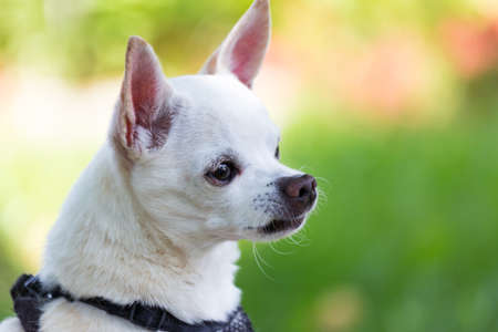 small white toy breed chihuahua sits up on alert watching for intruders as he guards his yard