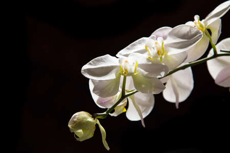 a white orchid on a black background Stock Photo