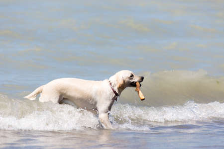 dog playing in the water with a stick in his mouth at Pinery Provincial park in Grand Bend Ontario Canada Stock Photo