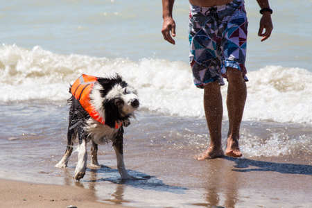 A wet dog in a life jacket has just come out from a swim with his owner at the beach and he shakes off the water. Pinery provincial park in Ontario Canada Standard-Bild