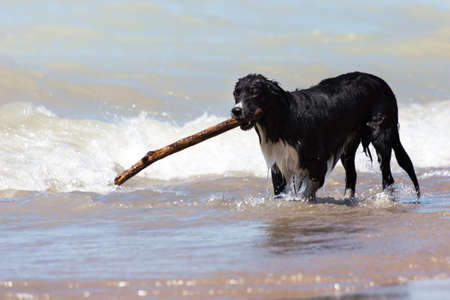 This dog loved the water chasing sticks and swimming in and out all afternoon at the Pinery dog beach in Grand Bend Ontario Canada