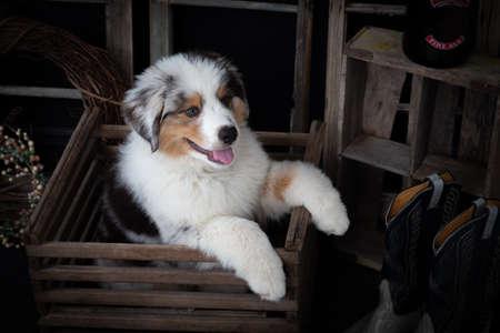 Cute Australian shepherd puppy in vintage wooden box