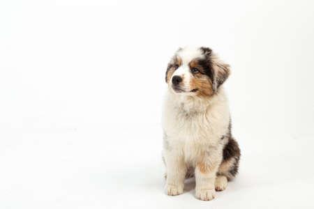 12 week old Blue Merle Australian Shepherd puppy on white background Standard-Bild