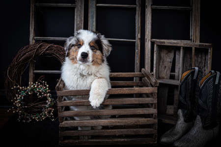 Cute Australian shepherd puppy in vintage wooden box looking at the camera