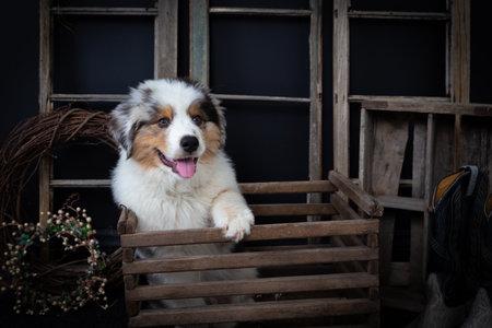 Cute Australian shepherd puppy in vintage wooden box looking away Standard-Bild