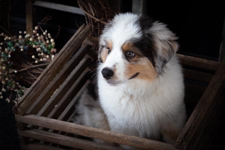 Close up of a cute Australian shepherd puppy in vintage wooden box Standard-Bild
