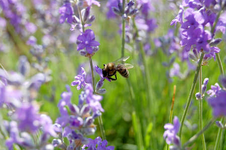 bee gathers nectar from the flowers of lavender