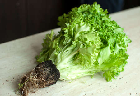 Bunch of raw organic green frisee salad with roots on wooden table. Selective focus.