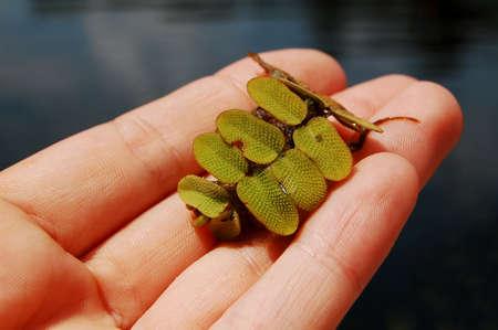 salvinia: Leaf of Salvinia on female palm close up.
