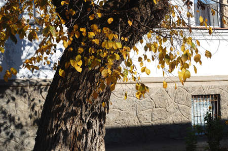 Concept of autumn in an old town. Sunlit tree and yeallow foliage on the background of a white wall of a old historical house.