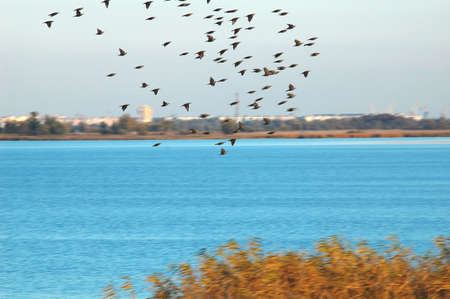 Flock of flying birds on the background of blue river, reeds, sky and town afar. Concept of seasonal flight of birds. Motion blur. Stock Photo