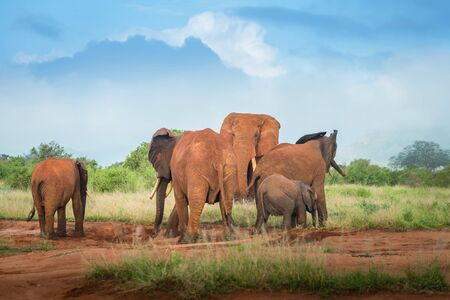 African Red Elephants group in the savanna Travel Kenya safari tours excursion in Tsavo East National park Africa