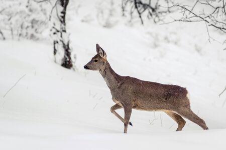 Deer isolated in the snow winter time in Bran, Transylvania, brasov, Romania 版權商用圖片