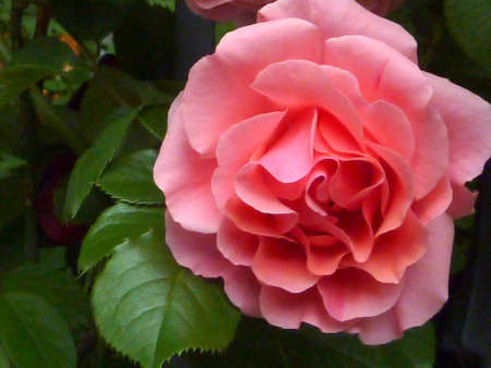 Pink rose with waxy dark green leaves