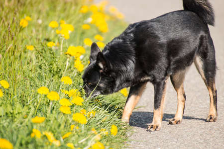 snooping: Black dog snooping the yellow flowers