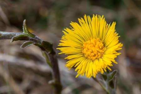 medical  plant: La u�a de caballo Tussilago farfara es una planta m�dica